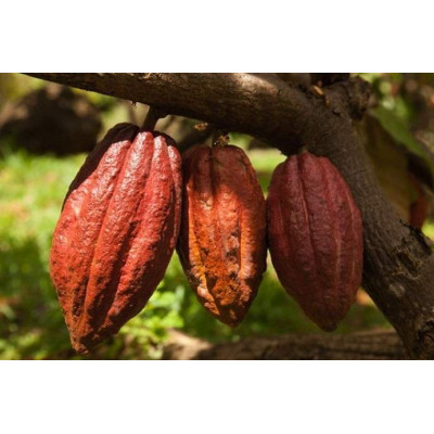 Урбеч из какао-бобов